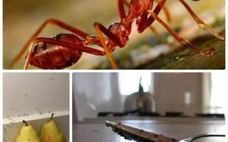 Как вывести муравьев на кухне