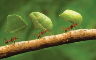 Как избавиться от рыжих муравьев в теплице