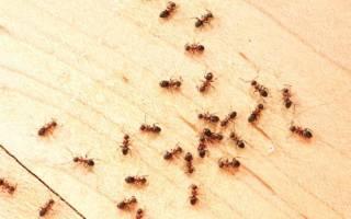Как отправить муравьев в квартире