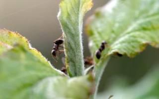 Чем обработать яблоню от муравьев и тли