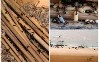 Как вывести из деревянного дома муравьев