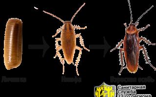 Как выглядит домашний таракан