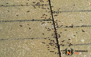 Чем отравить муравьев