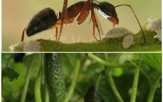 Чем обработать огурцы от муравьев